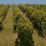 Vignes Domaine La Croix Mélier - Montlouis