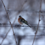 la Croix Mélier - Pinson sous la neige