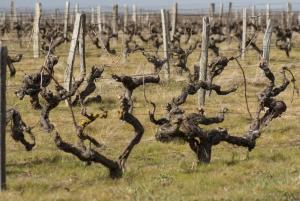 Vignes Domaine La Croix Mélier - Montlouis - Vignes taillées
